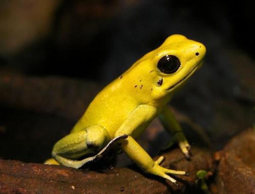 金色箭毒蛙。Photo Credit: webmaster of tierdoku @ Wikipedia CC BY SA 2.0