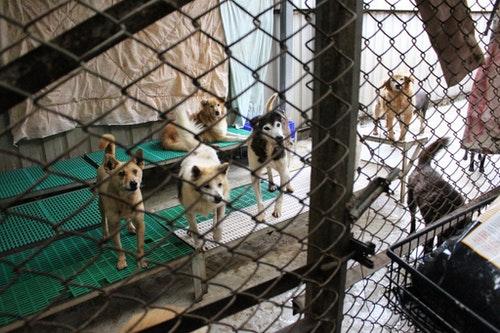 零安樂死政策後,公立動物收容所將會因民眾降低領養意願而大量囤積收容動物。此為示意圖。 李娉婷/攝|台灣動物新聞網