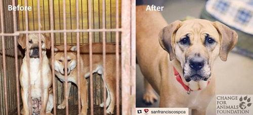 Polly是其中一隻在韓國獲救的狗狗,現已成為整個活動的親善大使。Photo Credit: Change For Animals Foundation