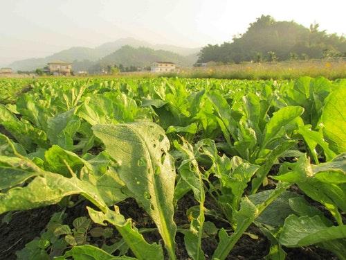 葉面上的露水,是日夜溫差冷熱交替後的傑作。雖然是作物的水份來源,不過也容易引發作物集體感染露菌病。攝影:李慧宜