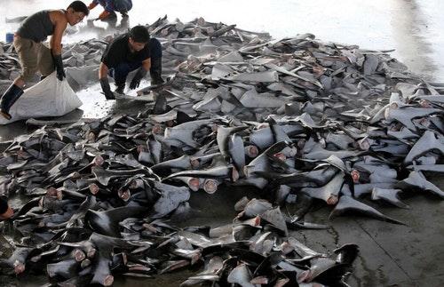 2012年於東港缷下的鯊魚鰭。圖片提供:綠色和平