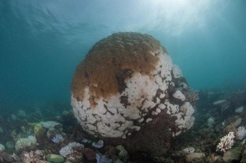 儒艮礁(Dugong Islet, the Great Barrier Reef)上白化的團塊形微孔珊瑚。微孔珊瑚上半部咖啡色的部分仍然健康,但下半部已白化且部分死亡。圖片來源:郭兆揚