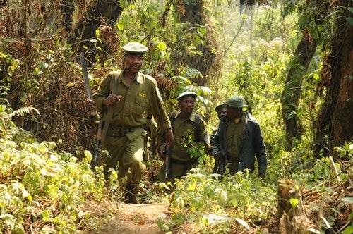剛果民主共和國家公園巡守隊表示,目前情況非常危急。圖片來源:Wildlife Conservation Society