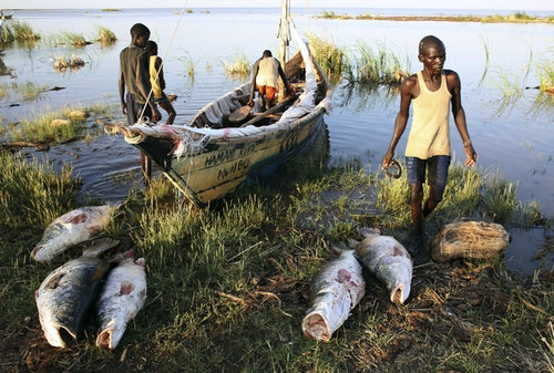 Turkana men unload freshly caught Nile Perches from a boat at a fishing camp on the western shore of Lake Turkana