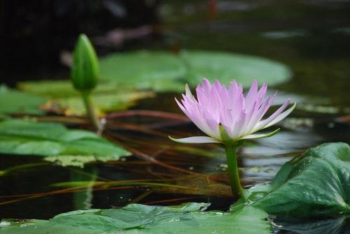 蓮花池 Lotus in a pool in Central Park