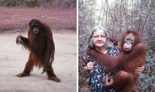 birute-orangutans-2