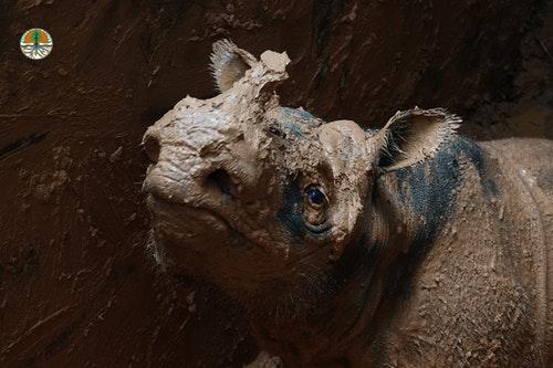 branded_Sumatran-rhino-5-1200x800