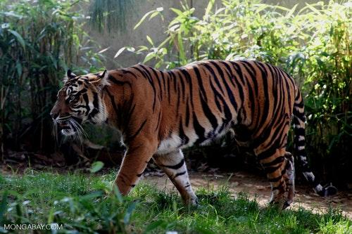 sumatran-tiger-r-butler