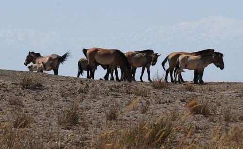 中新網5日報導,中國野馬數量占全世界野馬總量的1/4,成為世界最多的野馬擁有國。其中,原產於新疆準噶爾盆地北塔山和甘肅、