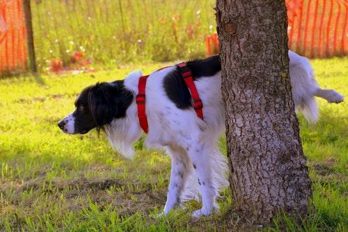 dog_pee_pee_tree_prato_nature_animal-800