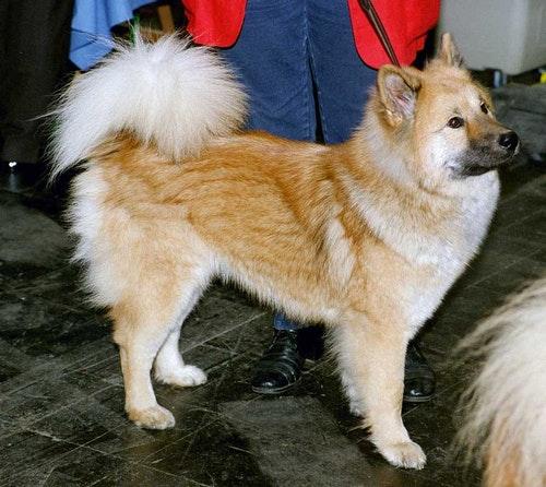 Ainu-Dog