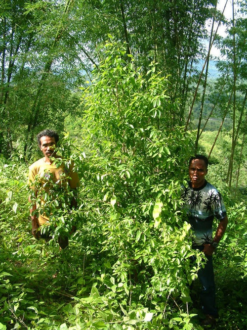 The Timor-Leste Tree: How East Timor Nearly Lost Its Illustrious