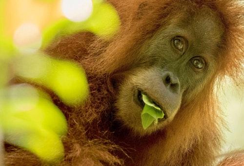 Orangutan-Tapanuli-Maxime_Aliaga1
