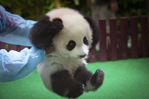 AP_18146187423588四個月大的熊貓「暖暖」。