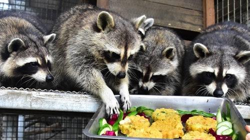新竹動物園人氣明星北美浣熊