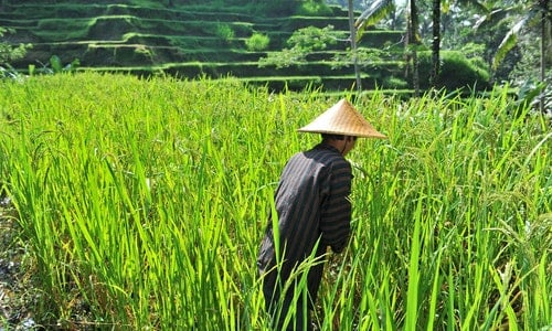 Organic farmer working and harvesting rice in the paddy field