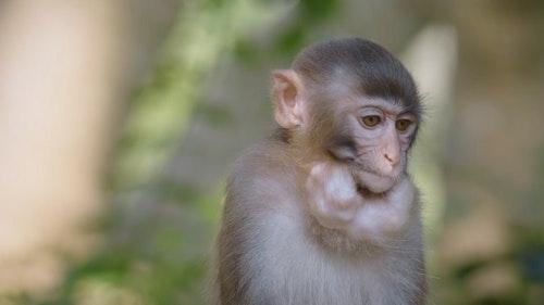 05_這隻小獼猴將果實暫時存放在牠的「頰囊」中。