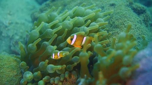 03_奶嘴海葵是珊瑚的近親,同時與小丑魚是一對共生關係。