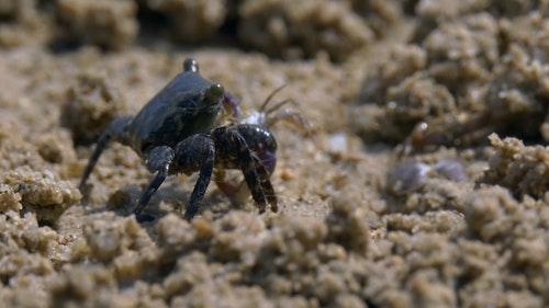 六、以捕獵維生的蟹通常有着不同大小的蟹鉗。較大的螯能壓碎食物。