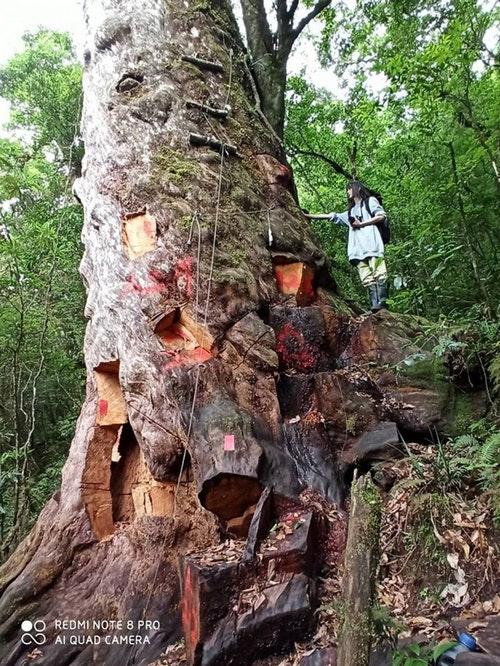 千年檜木遭凌遲式支解 盼成活教材