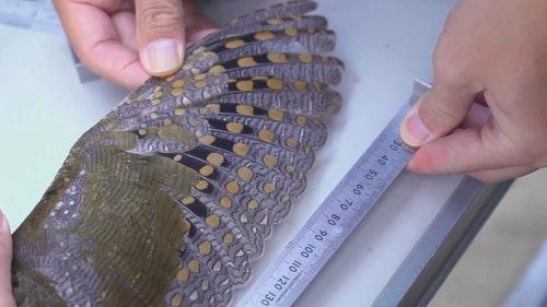 05_彭俊超及余日東進行了不少鳥類研究工作。這個量度鳥翼長度的過程主要用於估算鳥