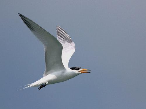 孵化燕鷗持續回歸 馬祖盼產出下一代神話之鳥