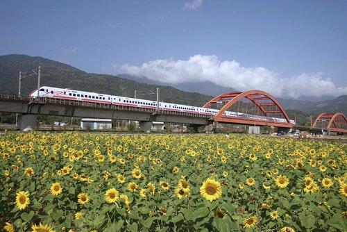 花蓮玉里客城鐵橋向日葵美景
